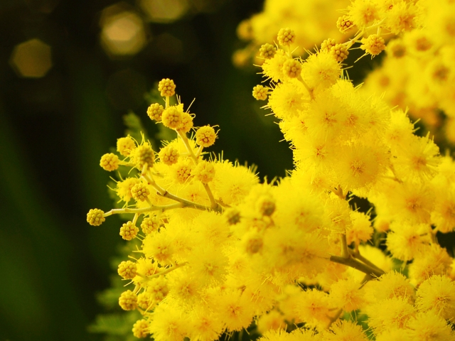 mimose1[1]